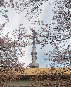 2016桜+