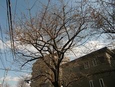 ソメイヨシノ枯れ木