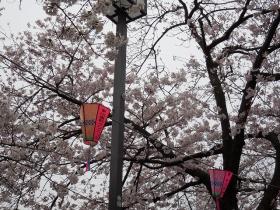 2016桜まつり1 (2)