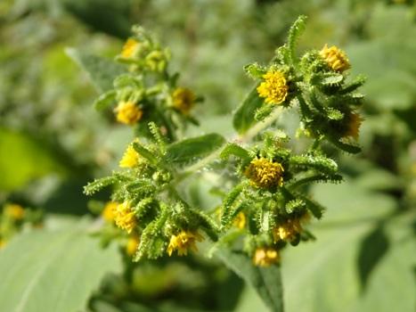「メナモミ ~黄色の頭花、総苞片に腺」