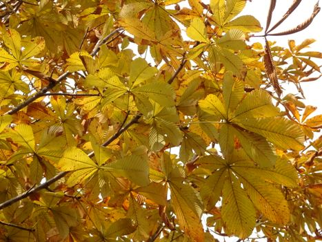 「トチノキ ~黄葉と落葉」