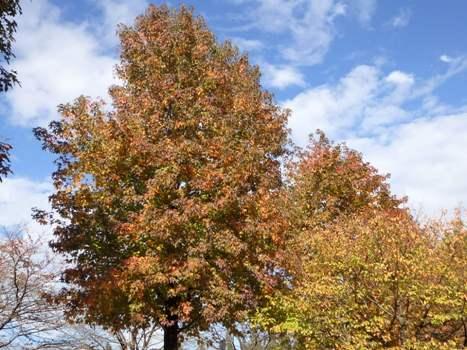 「ナンキンハゼなどの紅葉(上平公園)」