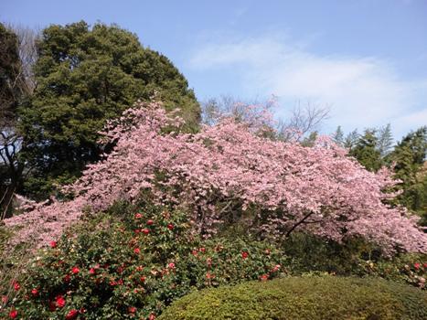 「花と緑の振興センター(1)安行寒桜」