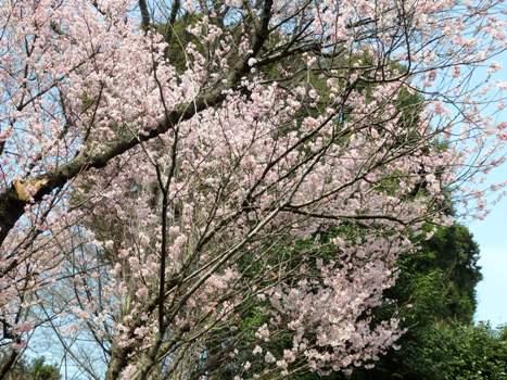 「花と緑の振興センター(2)彼岸桜」