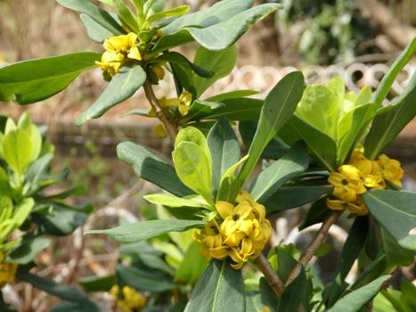 「ナニワズ ~冬緑樹、花は黄色」