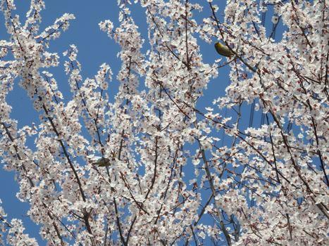 「ベニバスモモ ~満開の白い花」