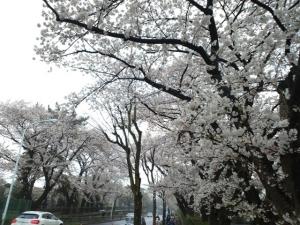 青山霊園1