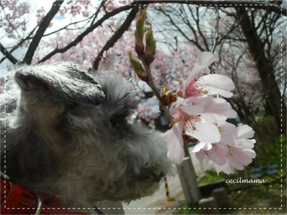 桜とセシル