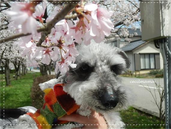 桜とセシル_1