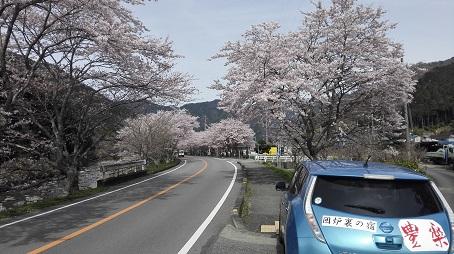 こっとん亭の桜