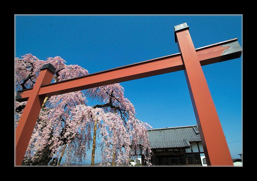 寺のしだれ桜2