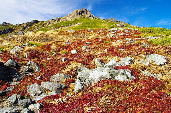 早池峰のイワウメの紅葉