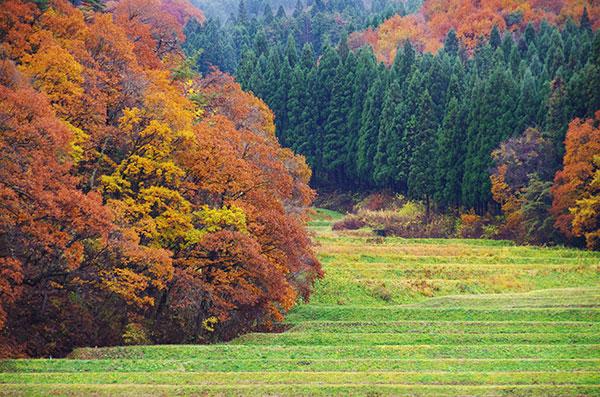 段々畑の黄葉