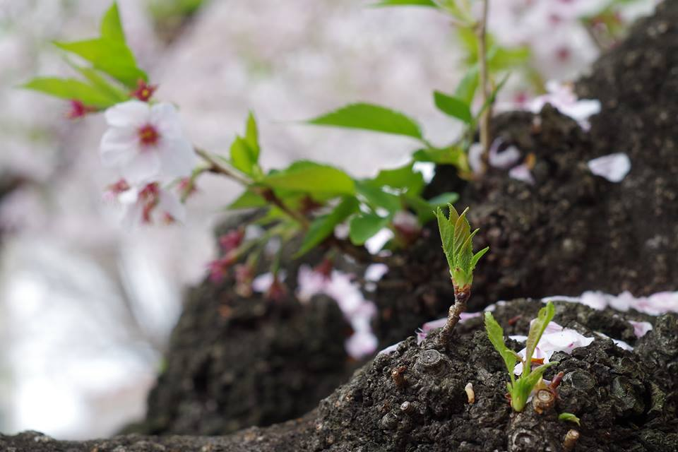葉桜 大岡山東京工業大学の桜並木 新芽が美しいマクロ撮影