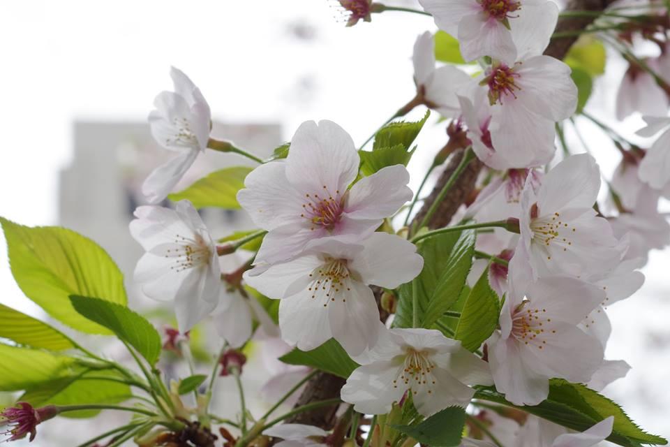 葉桜 大岡山東京工業大学の桜並木 マクロ撮影