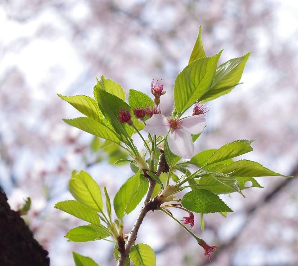 葉桜 大岡山東京工業大学の桜並木 散る花と萌え出づる新芽 マクロ撮影