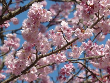 三島神社 薄紅寒桜 2
