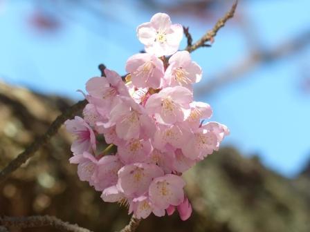 三島神社 薄紅寒桜 3