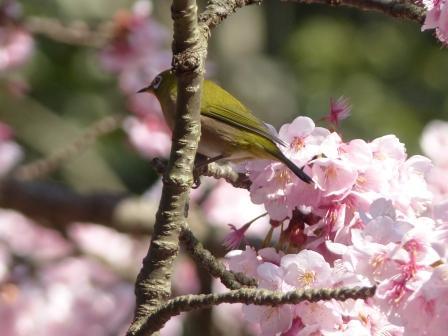 薄紅寒桜 & メジロ 2