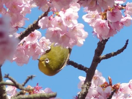 薄紅寒桜 & メジロ 3