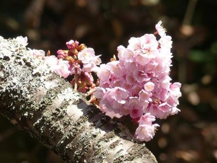 三島神社 薄紅寒桜 5