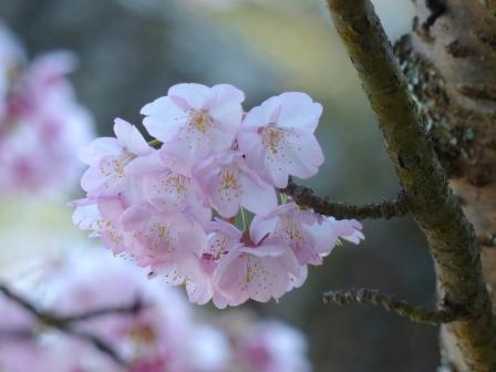 三島神社 薄紅寒桜 6
