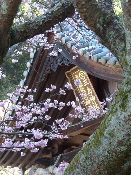 三島神社 薄紅寒桜 7