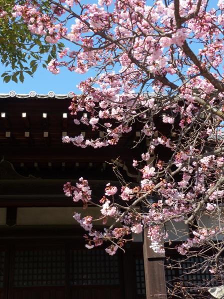 浄福寺 椿寒桜 3