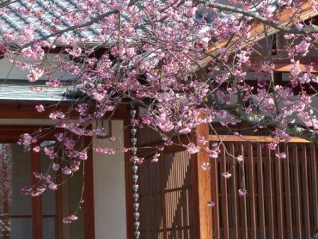 不退寺 椿寒桜 2