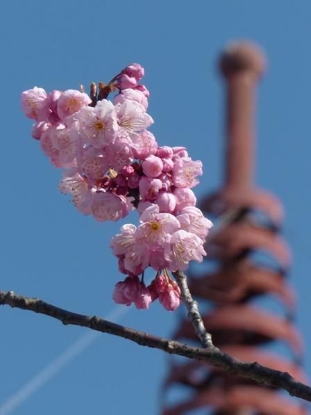 長建寺 椿寒桜 2