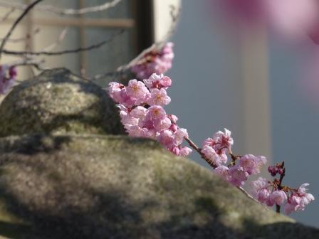 長建寺 椿寒桜 4