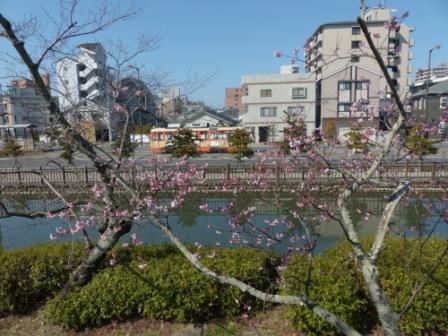 道後公園 椿寒桜 (伊予鉄道・路面電車と)
