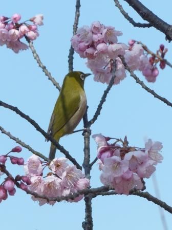 椿寒桜 & メジロ 3