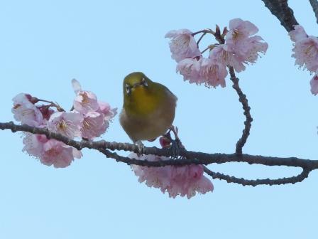 椿寒桜 & メジロ 6