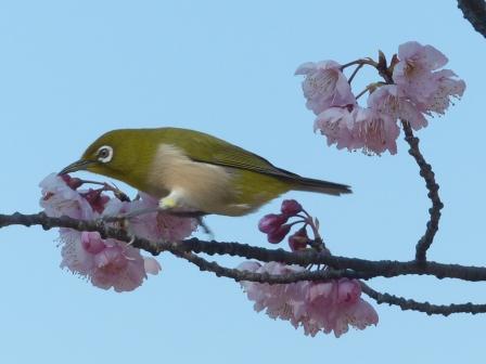 椿寒桜 & メジロ 7