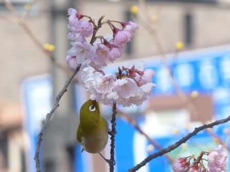 椿寒桜 & メジロ 8