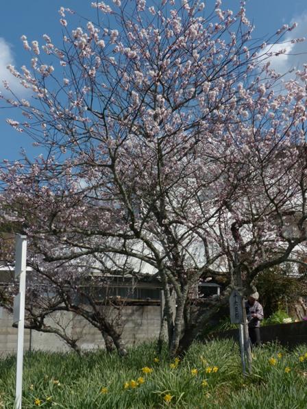 十六日桜 2