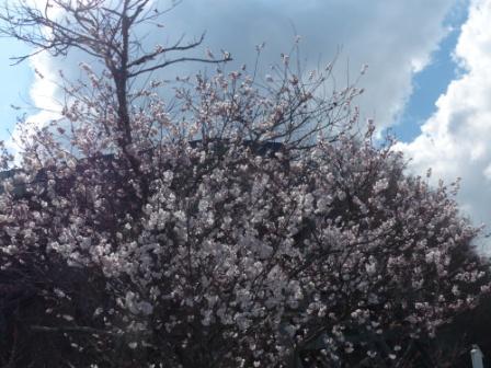 十六日桜 1
