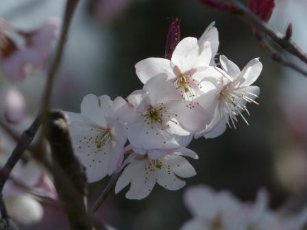 十六日桜 3