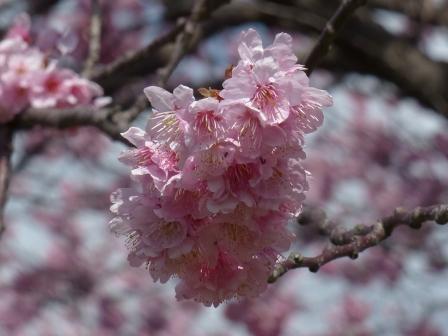 重信川河川敷 寒桜 3