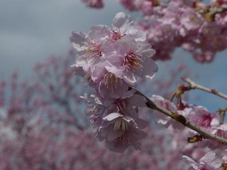 重信川河川敷 寒桜 4