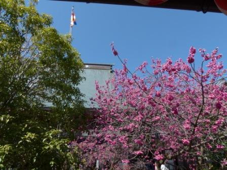 内子・高昌寺 早咲きの桜 4