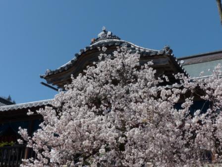 内子・高昌寺 早咲きの桜 3
