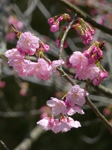 大宝寺 陽光 (桜)