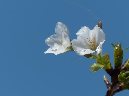 ふたみシーサイド公園 桜