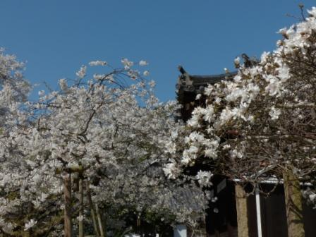 大宝寺 うば桜 & シデコブシ 1