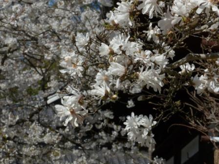 大宝寺 うば桜 & シデコブシ 2