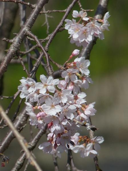 内子・郷之谷川のしだれ桜 5