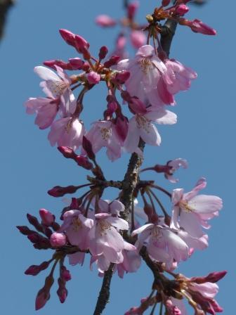 内子・郷之谷川のしだれ桜 4