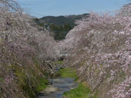 内子・郷之谷川のしだれ桜 1